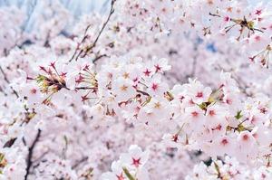 桜_640.jpg